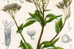 Plant-Illustration-of-Hemp-Agrimony