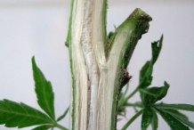 Half-cut-Hemp-stem