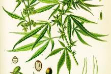 Plant-illustration-of-Hemp
