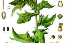 Plant-Illustration-of-Henbane