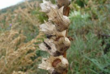 Dried-fruit-of-Henbane