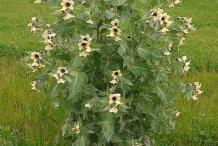 Henbane-Plant