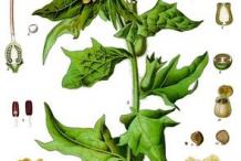 Plant-Illustration-of-Henbane