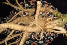 Root-of-Henbane-plant