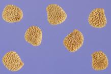 Seeds-of-Henbane-plant