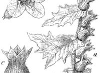 Sketch-of-Henbane-plant