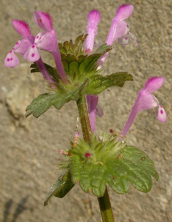 Henbit-deadnettle-flower