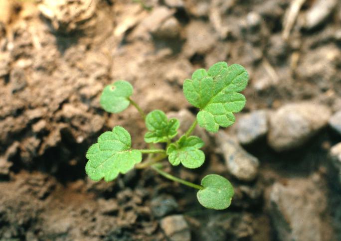 Henbit-deadnettle-seedling