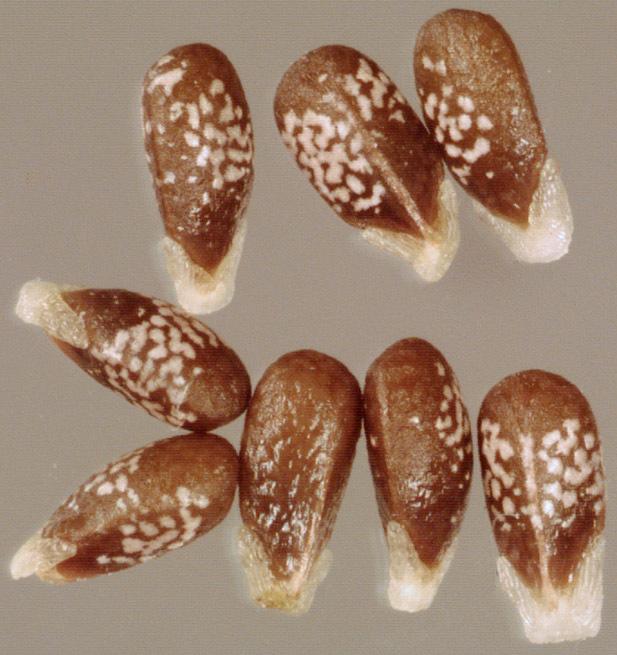 Henbit-deadnettle-seeds