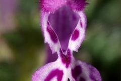Close-view-of-Henbit-deadnettle-flower