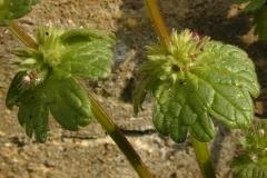 Henbit-deadnettle-leaves