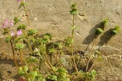 Henbit-deadnettle-plant
