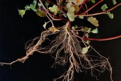 Henbit-deadnettle-roots