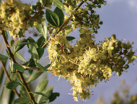 Flowers-of-Henna-plant