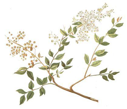 Plant-Illustration-of-henna-plant