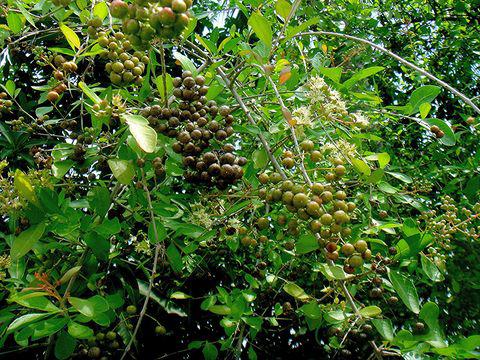 Ripe-Fruit-of-henna-plant
