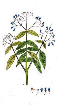 Sketch-of-Henna-plant