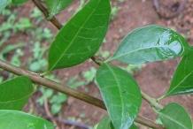 Branch-of-Henna-Plant