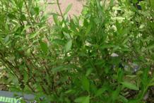 Henna-plant-growing-wild