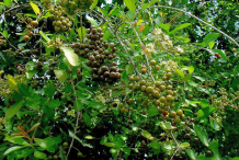 Ripe-Fruit-of-henna-plant