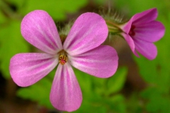 Flower-of-Herb-Robert