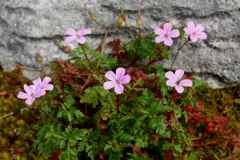 Herb-Robert-plant-growing-wild