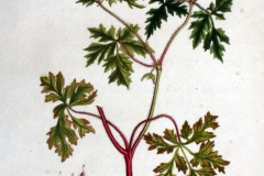 Plant-Illustration-of-Herb-Robert