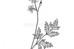 Sketch-of-Herb-Robert