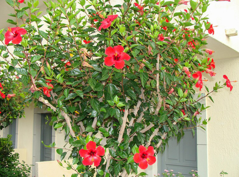 Hibiscus Facts And Health Benefits