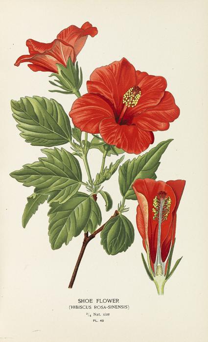 Plant-Illustration-of-Hibiscus