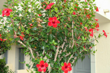 Hibiscus-Plant-in-front-of-house