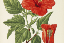 Plant-Illustration-of-Hibiscus