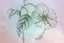 Sketch Of Hibiscus
