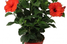 Small-Hibiscus-plant-on-pot