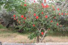 Hibiscus-plant-growing-wild