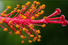 Stamens-with-anthers-releasing-yellow-pollen-grains-and-hairy-stigmas