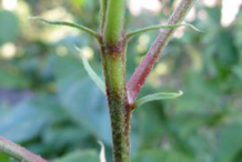 Stipules-of-Hibiscus