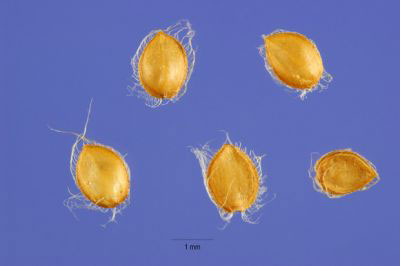 Seeds-of-Hilo-grass