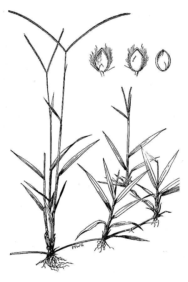 Sketch-of-Hilo-grass