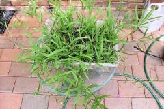 Hilo-grass-Plant-grown-on-pot