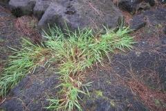 Hilo-grass-plant