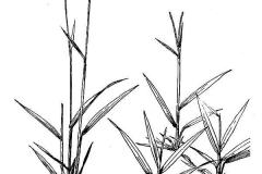 Sketch-of-Hilo-grass