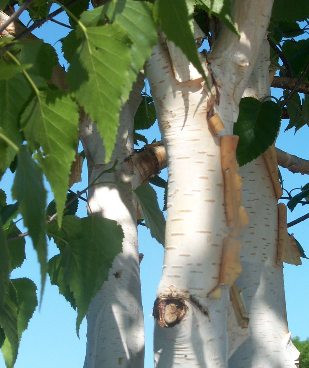 Trunk of Himalayan Birch plant
