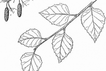 Plant-sketch-of-Himalayan-Birch