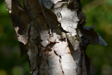 Bark-of-Himalayan-Birch-plant