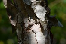 Bark-of-Himalayan-Birch-plant