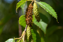 Female-flower-of-Himalayan-Birch
