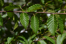 Leaves-of-Himalayan-Birch-plant