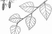 Plant-sketch-of-Himalayan-Birch