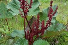 Himalayan-Rhubarb-plant